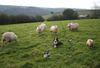 Minkittens_sheep_3