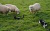 Sheep_sage_3