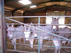 4_donkeys_2