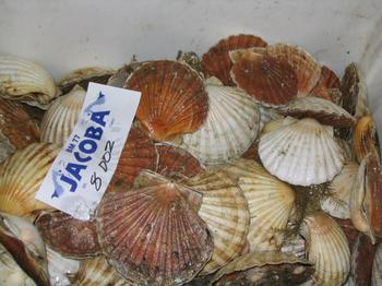 Scallops_SOLD