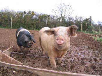 Big_pig