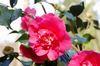 Camellia1_3