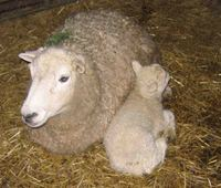 Ewe_and_lamb_1