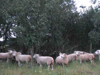 Ewesgrazetheorchard
