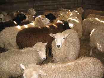 Lambs_at_dagging