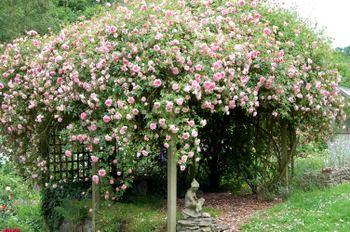 Pink_rose_06