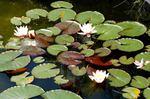 Waterlilies_06