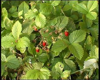 wildstrawberries1